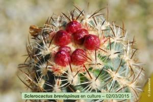 03-02-brevispinus