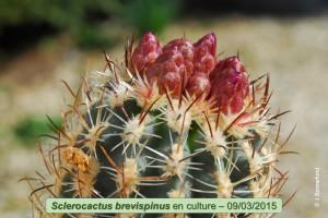 03-09-brevispinus