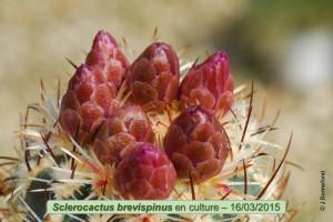 03-16-brevispinus