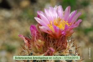 04-07-brevispinus