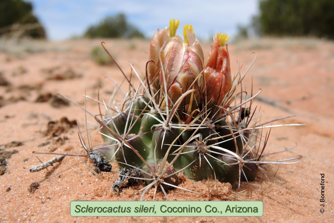 Sclerocactus sileri, Vermilion Cliffs National Monument, Utah