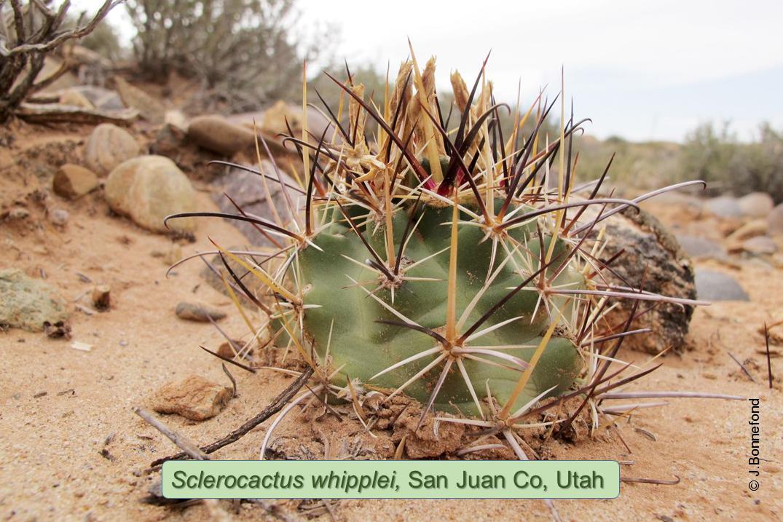 Sclerocactus whipplei, Lithodendron Wash, Arizona