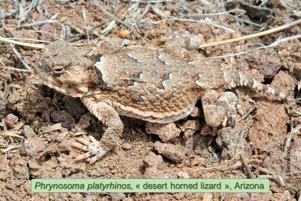 1266-2013-Phrynosoma