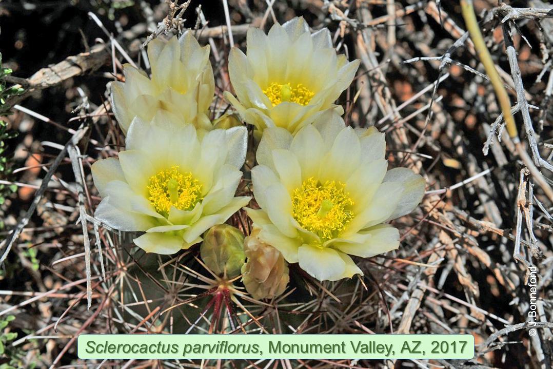 Sclerocactus parviflorus, Monument Valley, Arizona