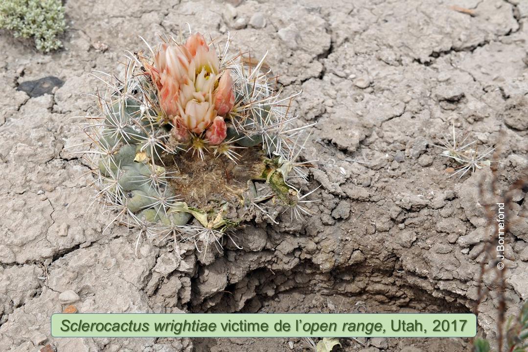Sclerocactus et open range