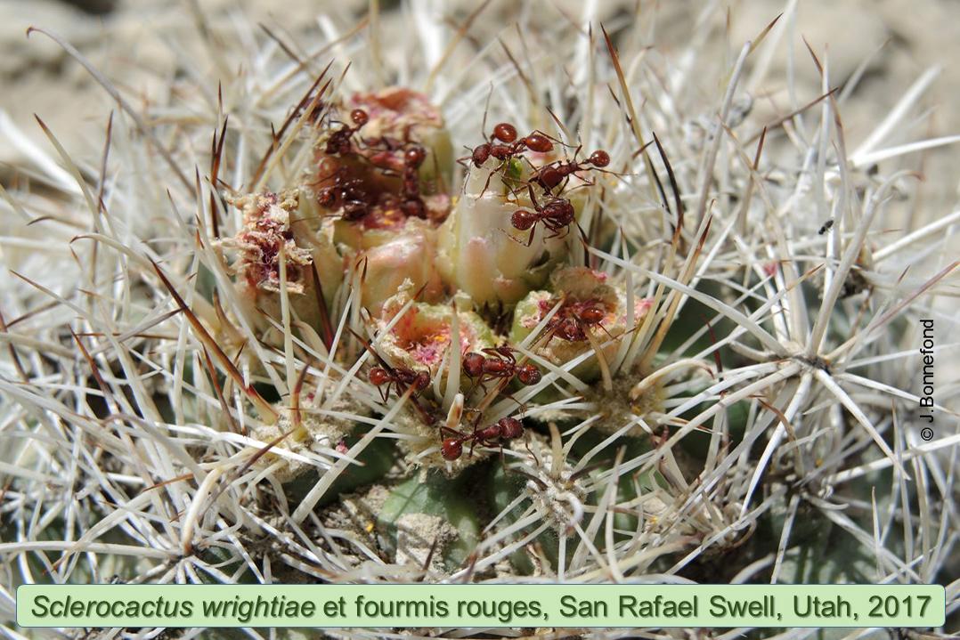 Sclerocactus wrightiae et fourmis rouges