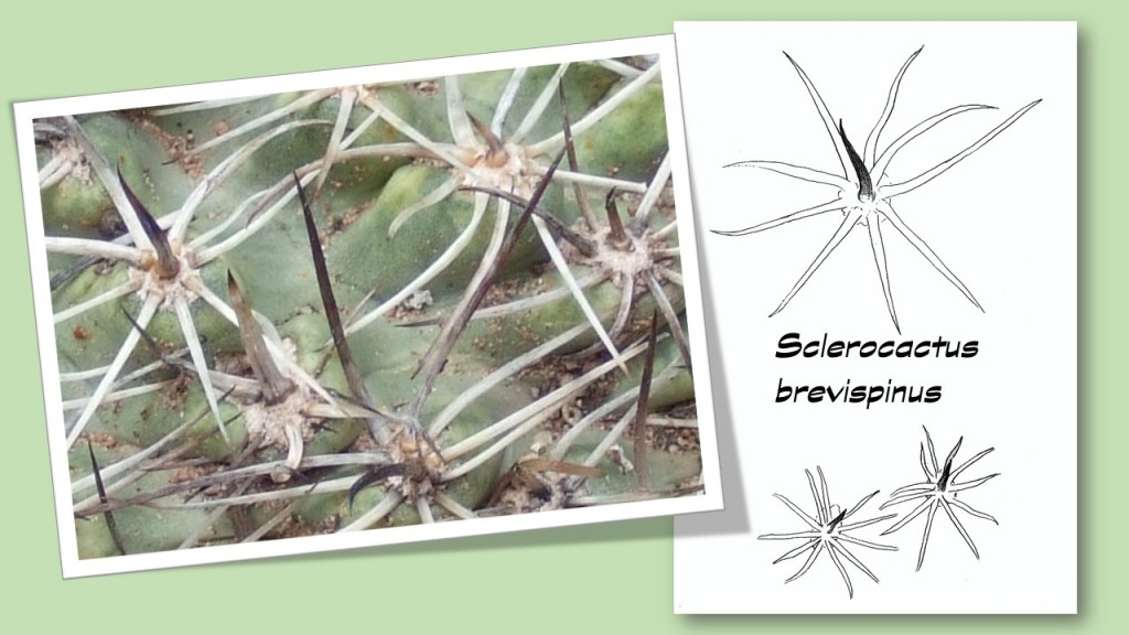 Dia-Epines-brevispinus2