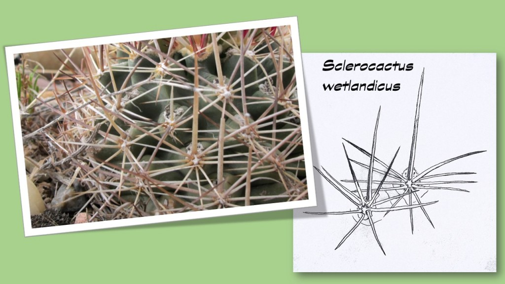 Dia-Epines-wetlandicus2