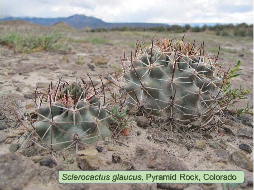 Glaucus0387-2014-Pyramid