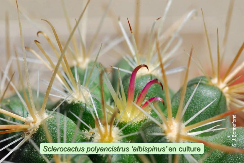 Polyancistrus-albino-2010-6
