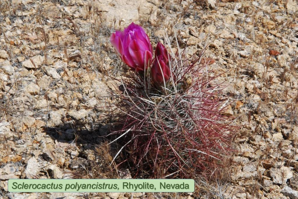 Polyancistrus0457-2011-Rhyolite