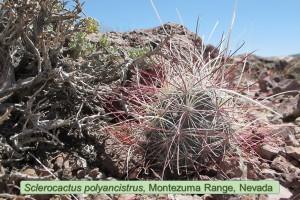 Polyancistrus0781-2011-Gemplus