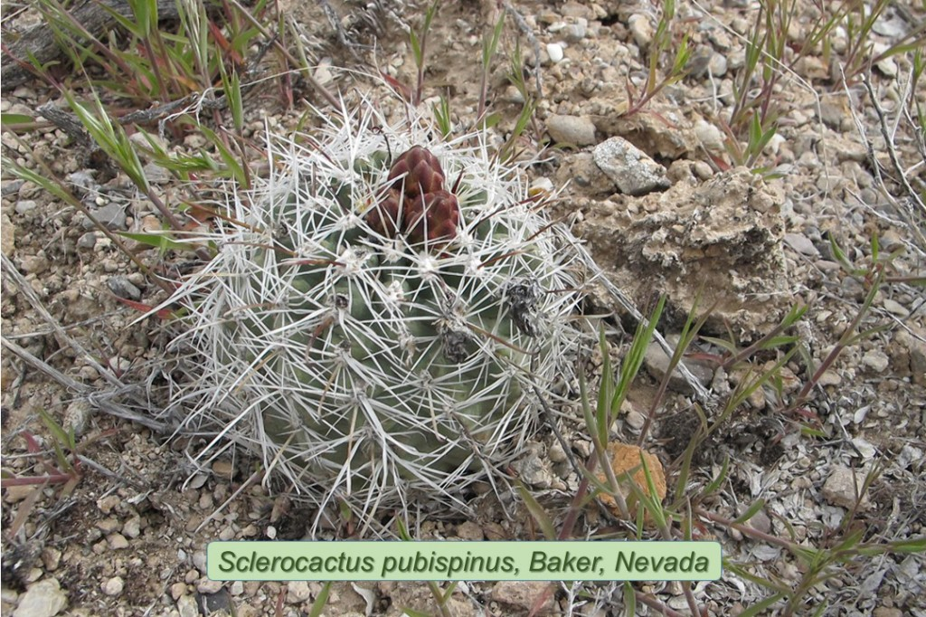 Ppubispinus0966-2011-Baker