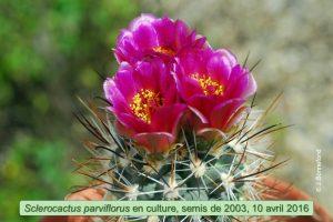 Sclero parviflorus-Fl31mod
