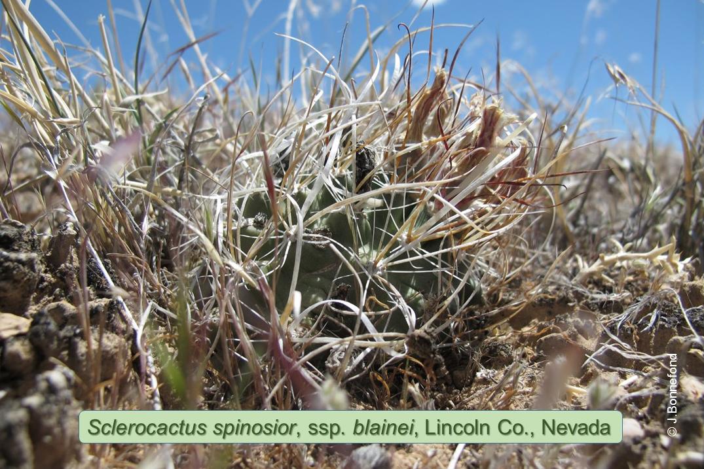 Sclerocactus blainei, Dry Lake Valley, Nevada