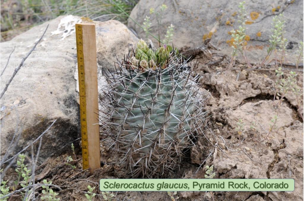 glaucus-Pyramid-1473-2014