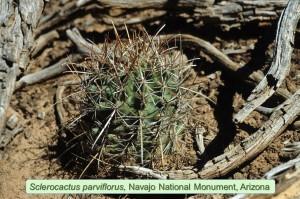 parvif-NavajoNM-1990-01