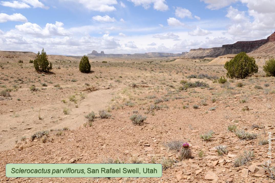 Sclerocactus parviflorus, San Rafael Swell, Utah