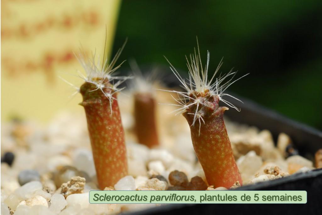 parviflorus-5semaines