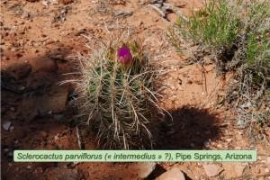 parviflorus0702a-2010-PipeSpring