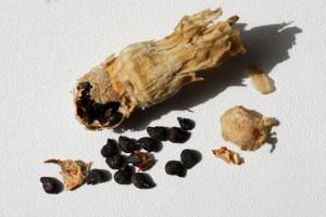parviflorus08-fruitgraines