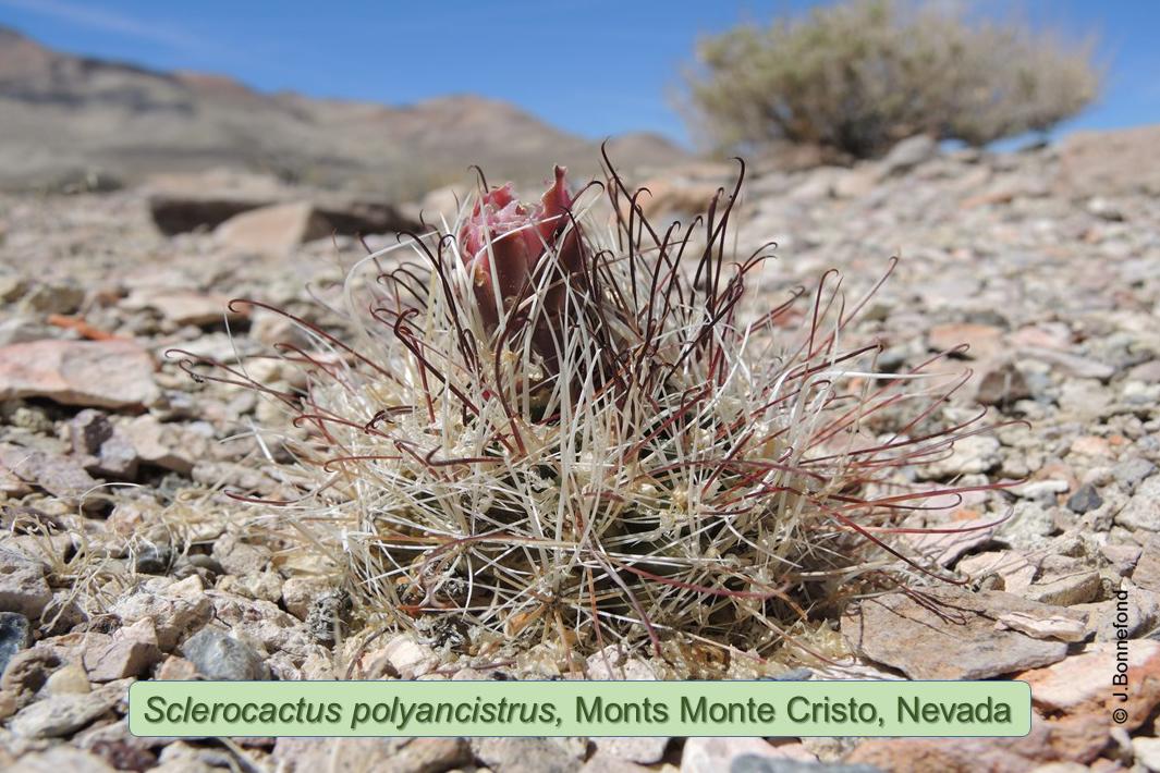 Sclerocactus polyancistrus, Monts Monte Cristo, Nevada