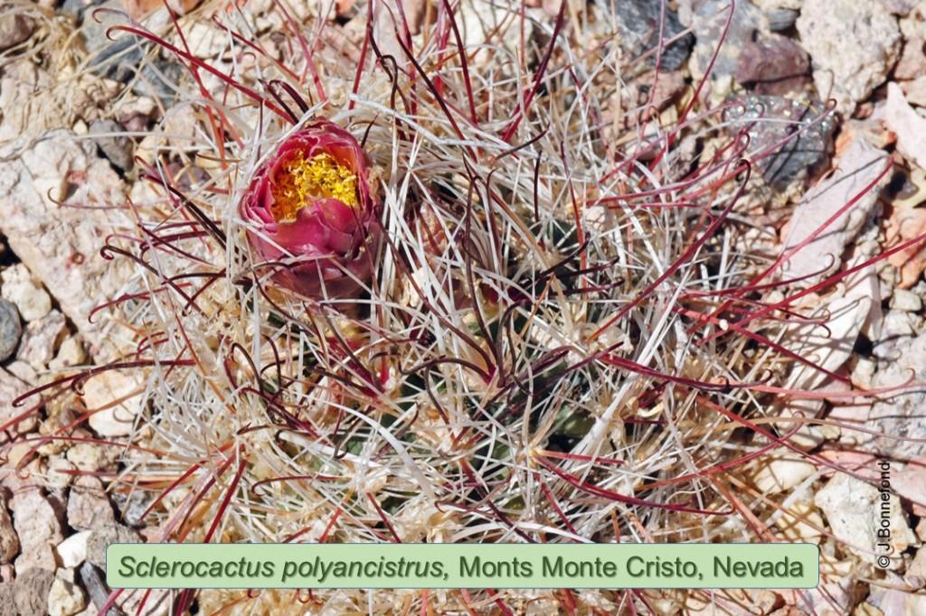 polyancistrus-0536a-2015