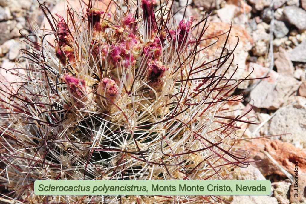 polyancistrus-0544-2015