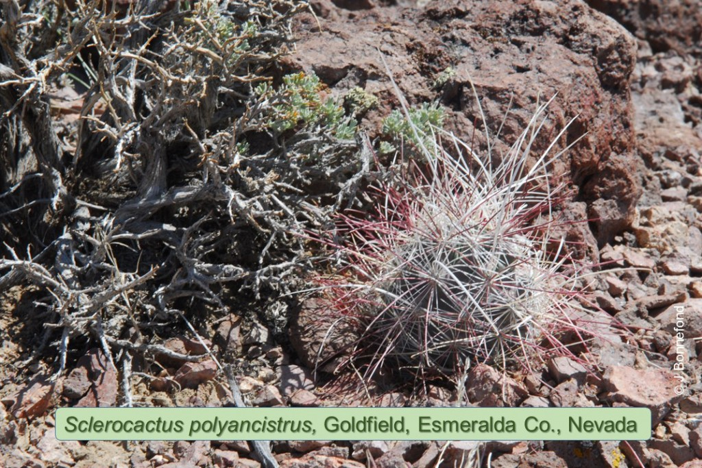 polyancistrus-0753-2011